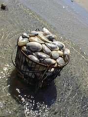 Monomoy steamer clams