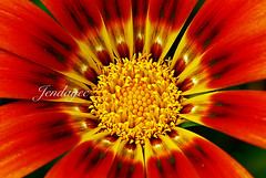 Flowers of PdR (red and yellow heart) (jendayee) Tags: flower fleur colors agadir morocco gazania excellence naturesfinest flowerotica fantasticflower platinumphoto excellentsflowers explorewinnersoftheworld mimamorflowers afgaz