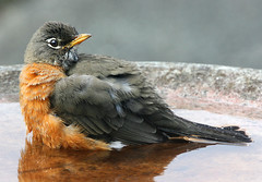 Ready for a Bath (janruss) Tags: bird robin bath birdbath defenders americanrobin avian savethenature mywinners abigfave earthanditsincredibleanimals janruss janinerussell