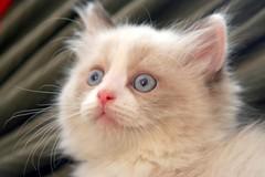 jaxson (photocatt) Tags: cats cute cat feline fluffy felines cuteness fluffycat fluffycats
