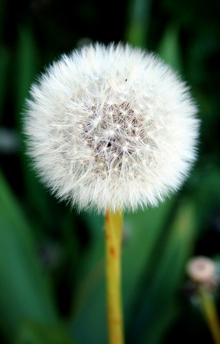 How long does the perfect dandelion stay perfecct?