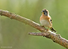 Brambling (Franka (moving on)) Tags: keep zangvogel brambling ovp vinkachtige