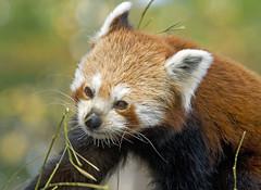 Red Panda (f0rbe5) Tags: china park uk red mammal panda paradise wildlife bamboo redpanda habitat decline himalayas threat hertfordshire 2007 ailurusfulgens hunted wildlifepark broxbourne paradisewildlifepark herbivorous ailurus fulgens shiningcat populationdecline