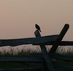 One Last Look (fauxto_digit) Tags: bird silhouette fence evening pa gettysburg viewing birdsilhouette adamscountypa aroundgettysburg