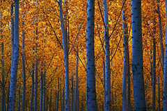 Golden canopy (walla2chick) Tags: trees fab usa oregon golden poplar 6800 trunks canopy umatilla blueribbonwinner amazingtalent onlyyourbestshots superbmasterpiece theperfectphotographer