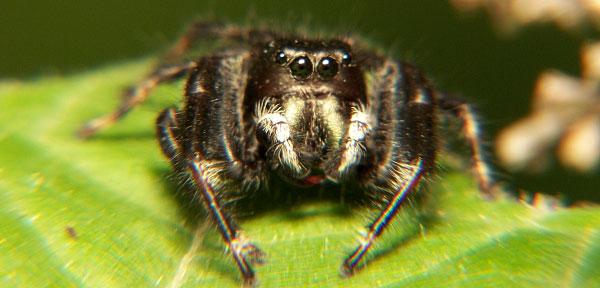 spider_Phidippus_4
