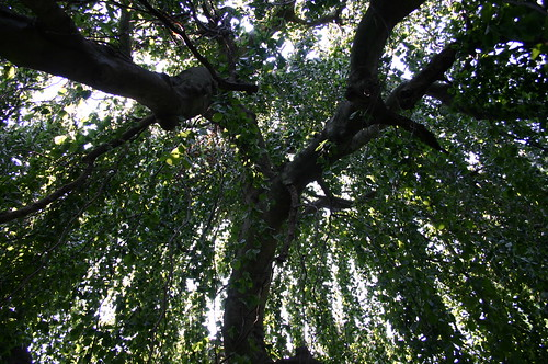 Looking Up Under Beech Tree