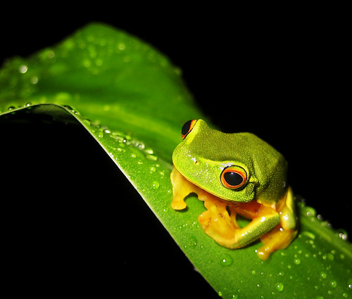 tree frog pictures. The Dainty Green Tree Frog,