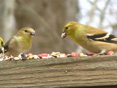 "Winter Birds (Claire DeLand ~ ""GA Music Maker"") Tags: winter birds backyard feeders winterbirds g7 birdiebuffet feederfun december272007"