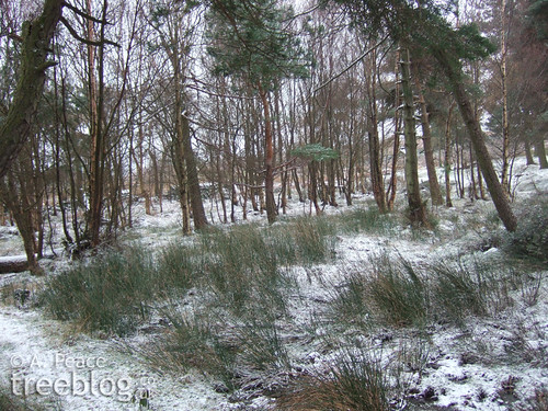 snowy boggy patch with birch and Scots pine in the background