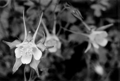 Flowers II (invisiblefangs) Tags: blackandwhite bw flower macro film closeup canoneosrebelii invisiblefangs