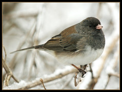Junco (nature55) Tags: winter bird nature outdoors wildlife aves darkeyedjunco naturesfinest specanimal nature55 platinumphoto avianexcellence natureselegantshot natureselegantshots