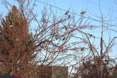 waxwings1 (reyfox) Tags: winter flock boise cedar bohemian waxwings