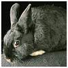The Marzipan (Hasenpfeffer Incorporated) Tags: rescue pet cute rabbit bunny dutch mix sweet conejo marzipan ambassador bun lapin hase hasenpfefferincorporated