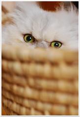 Peek-A-Boo! (Nazra Zahri) Tags: pet home animal japan cat 50mm eyes nikon basket border mel nikkor 50mmf18d picnik okayama fpc d80 bfff goldstaraward