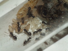 A test tube Lasius niger colony