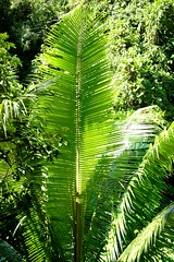 "Ola (Rafeek Manchayil ""Near Perfect"") Tags: leaf coconut philippines kerala cebu kera badian malayalam keralam malayali malabar calicut keram godsowncountry keralite rafeek manchayil vadakara rafeekmanchayil kadathanad puduppanam"