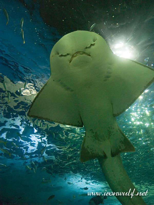 A manta ray  smiles hi