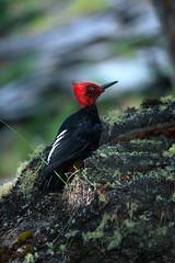 Magellanic woodpecker (Mike Keran) Tags: chile patagonia campephilusmagellanicus magellanicwoodpecker