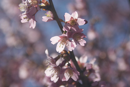 90/365 Cherry Blossom