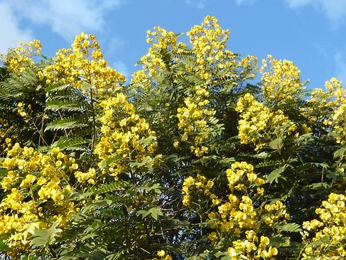 Cassia spectabilis