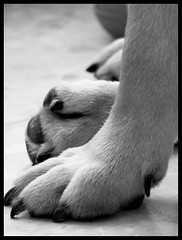 elnosehacelamanicura (quevieneelcoco) Tags: bulldog ingls patita manicura pelitos pxel quevieneelcoco