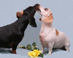 YES! (geckoam) Tags: dog pet hotdog engagement sausage dachshund wiener yellowrose levi piebald proposal wienerdog dackel answer teckel doxie whitedog goldstaraward