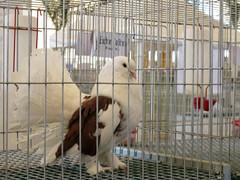 pigeons (1)