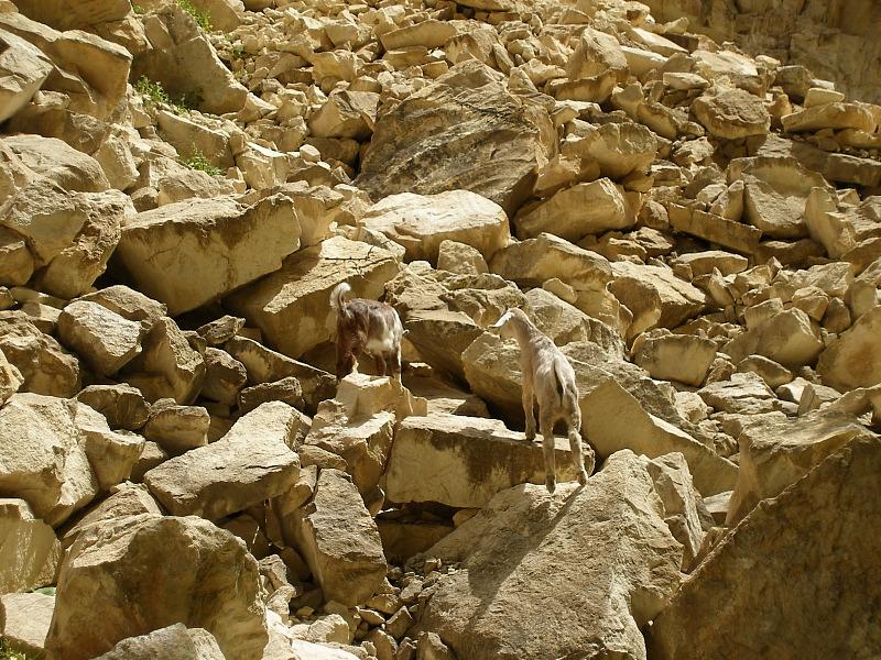 Avakas goats