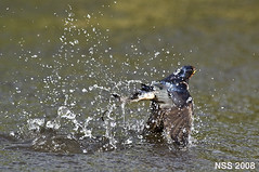 2 (N-S-S) Tags: bird birds nikon sigma 300mm 28 kuwait nikkor  vr nasser      vwc          kvwc    alsolihem