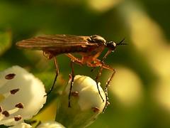 draycote meadows 26 (Walwyn) Tags: insect fly diptera empis walwyn draycotemeadows