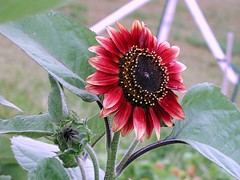 Sunflower red/purple (candyocoffee) Tags: naturesfinest cmwdr