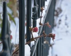 Uitstekend (Ilona67) Tags: winter hek hff knoppen roze bloem plant sneeuw tak