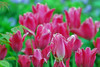the one (mrpip (the original mrpip)) Tags: pink flowers toronto canada highpark tulips flickrmeetup nikond80