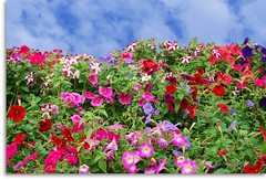 Wall Of Flowers (Anderson Sutherland) Tags: pink blue red sky white flores muro green wall clouds purple heart flor pinkfloyd quintaflower flowerthursday santacatarina nuvem rosas itaja soe parede florido lils azuis vermelhas anotherbrickinthewall naturesfinest supershot abigfave shieldofexcellence impressedbeauty favoritegarden diamondclassphotographer flickrdiamond theperfectphotographer