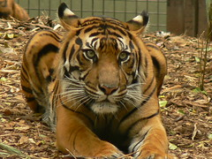 You Looking At Me? (ianmichaelthomas) Tags: friends tiger tigers melbournezoo sumatrantiger bigcats smorgasbord royalmelbournezoo endangeredanimals sumatrantigers animaladdiction goldenmix avisittothezoo animalcraze superbmasterpiece diamondclassphotographer flickrdiamond worldofanimals auselite naturewatcher wonderfulworldmix parkvillevictoriaaustralia sumatranwildlife itsazoooutthere flickrlovers vosplusbellesphotos flickrbigcats wildcatworld flickrsbestcreatures