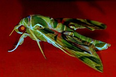 Official Insect of the Armed Forces ;))