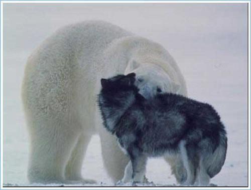 Polar Bear and Husky 4