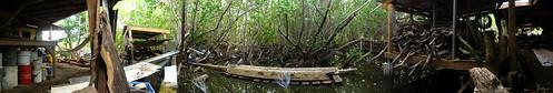 Mangroves at the back of Aragorn's studio, Trellis Bay, The British Virgin Islands