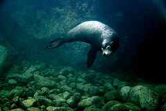 Sea Lion (graspnext) Tags: photofaceoffwinner photofaceoffplatinum pfogold pfohiddengem