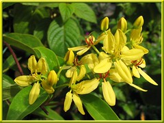 Tristellateia australasiae (Shower of Gold Climber, Vining Milkweed) in our tropical garden