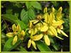 Tristellateia australasiae (Shower of Gold Climber, Vining Milkweed/Thriallis/Galphimia, Australian Gold/Golden Vine, Maiden's Jealousy)