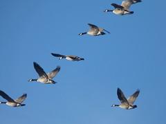 In formation (annkelliott) Tags: canada calgary bird nature goose alberta brantacanadensis canadageese annkelliott platinumphoto beaverdamflats fz18 panasonicfz18 panasonicdmcfz18 p1020484fz18 talkaboutwildlifeca