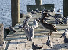 PENSACOLA ICONS (genetew) Tags: pelicans gulfofmexico florida gulls seafood soe pensacola escambiabay joepatti pensacolapelicans platinumphoto panhandel theunforgetablepicture theunforgettablepictures