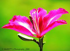 I love u, Pinky.. (morephy) Tags: pink flower green beautiful nice best vision  naturesfinest sobeautiful a mywinners abigfave pinkalicious diamondclassphotographer flickrdiamond onlythebestare flowersmacroworld ahqmacro morephy