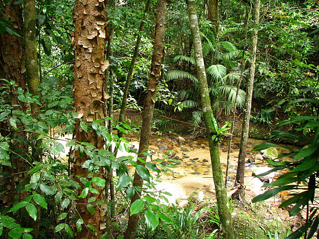 Eucalyptus Grandis In