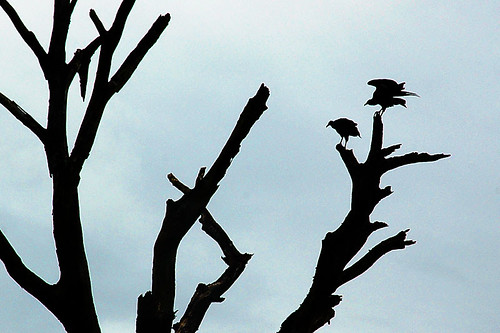 Urubus na árvore por Rafael Lavenère.