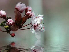SUNDAY'S FLOOD (jodi_tripp) Tags: reflection water spring flood blossom digitalart plumtree joditripp challengeyouwinner mywinners wwwjoditrippcom itspouringraintoday photographybyjodtripp