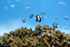 Underwater at Okinawa, Japan (_takau99) Tags: ocean trip travel blue school sea vacation holiday fish uw nature water topv111 coral japan topv2222 lumix japanese topv555 topv333 asia underwater topv1111 topv444 scuba diving topv222 september panasonic pacificocean tropical  scubadiving top999 okinawa topv777  topv3333 topv666 topf10 tropicalfish 2007 deepblue topv888 damsel kerama damselfish  topf5  philippinesea eastchinasea takau99 dmcfx30 dmcfx sawasdeedive bluegreendamselfish