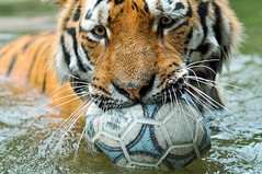 Playing with the ball 3 (Tambako the Jaguar) Tags: wild male water swimming cat ball walking zoo schweiz switzerland football big nikon bath feline play fussball stripes fifa soccer tiger zurich young kitty coto son bigcat katze bathing zrich siberian wildcat
